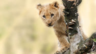 A cute lion cub poking out from behind a tree branch.