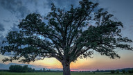 A large oak tree against the sunset.